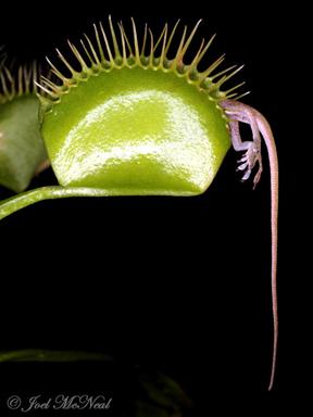 Venus flytrap-web